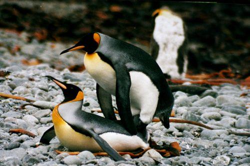 Gay Penguins In Germany 24