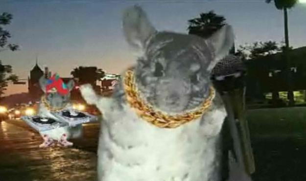 hardcore gangsta rap chinchillas