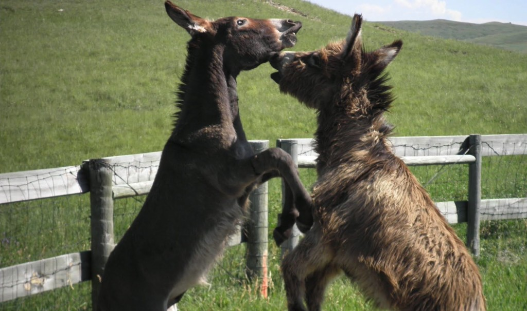 donkey fight