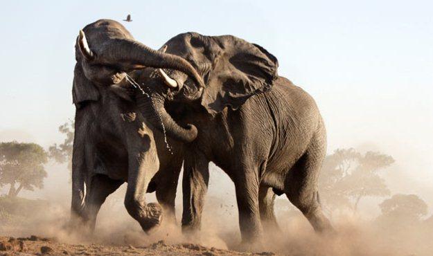 scgop elephants